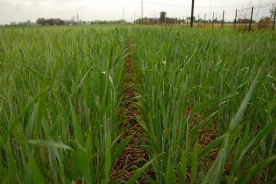 en un año clave cómo proyectar la siembra de trigo fm spacio 98 1