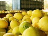 Limones Argentinos - Foto Telam