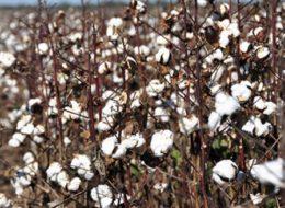 Campo con algodon - Foto INTA