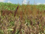 Malezas en cultivos - Foto INTA