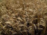 Trigo - Foto Ministerio de Agroindustria